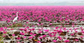 Lotus Thailand Lotus Lake Thailand Feel The Planet