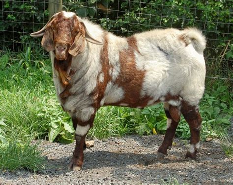 uncommon breeds springs farm home of ennobled abga fullblood and spotted boer goats