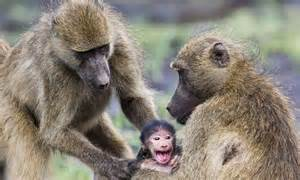 baby baboon grips  mother tight   female     hug daily