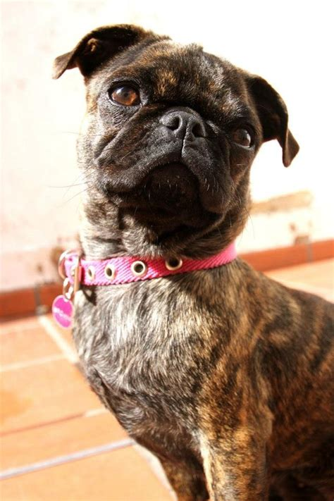 are brindle pugs 310 best images about pugalicious on pug brindle pug and pug