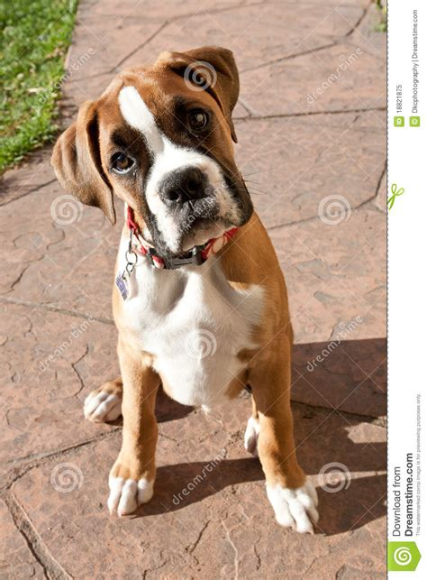 looking for free puppies boxer puppy looking up royalty free stock photo image 18821875