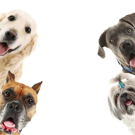 heimlich maneuver on dogs how to do the heimlich maneuver for dogs greenfield puppies