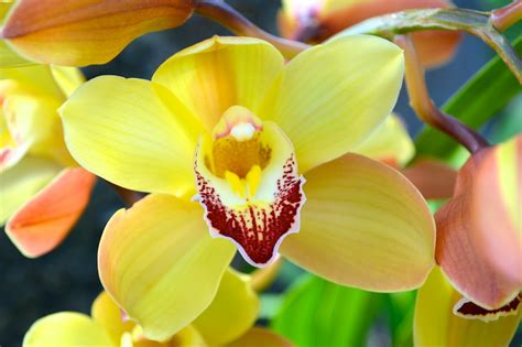 spring must be around the corner my cymbidium orchids are blooming
