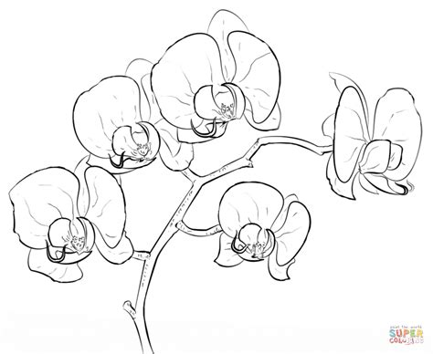 Orchid Coloring Pages orchid coloring page free printable coloring pages