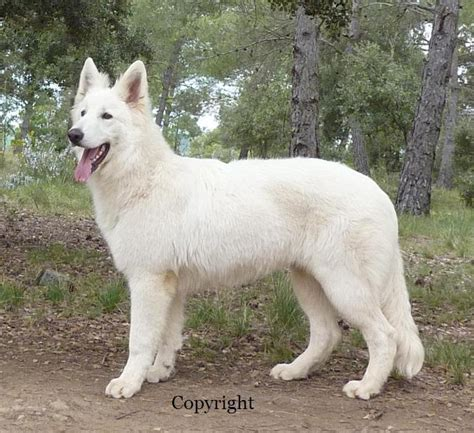 white swiss shepherd puppies pin white swiss shepherd 2jpg on