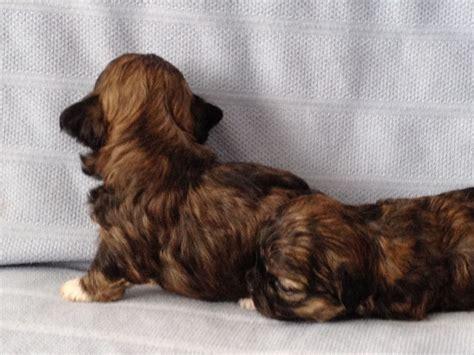 brindle shih tzu puppies brindle shih tzu puppy liverpool merseyside pets4homes