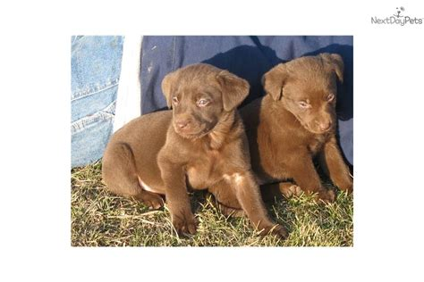 chocolate lab puppies for sale in iowa meet mocha a labrador retriever puppy for sale for 400 akc chocolate lab puppy