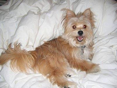 long hair yorkie pom mix yoranian dog breed information and pictures