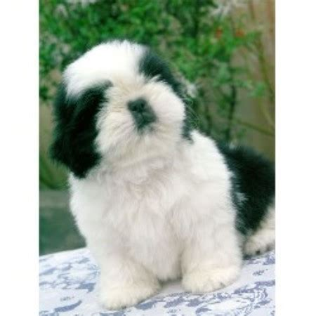 shih tzu ga s shih tzu breeder in dallas listing id 10265
