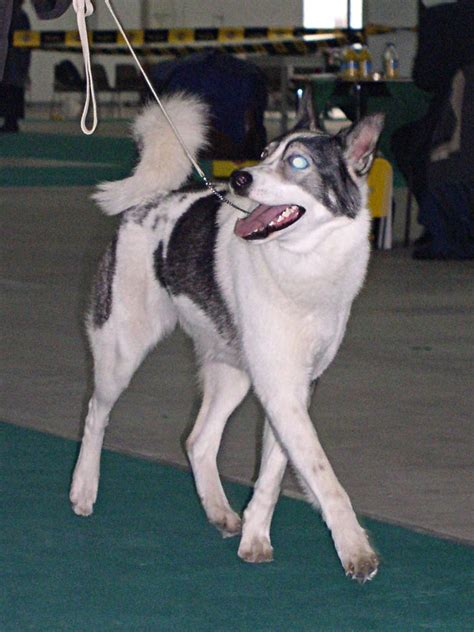 laika the laika breed