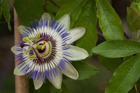 fiore della passione di cristo la passiflora il fiore della passione di cristo natura