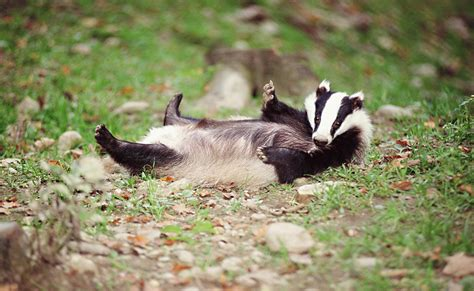 can badger catch stds peoples trust for endangered species