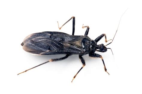 all about bed bugs kissing bugs all about kissing bugs and chagas disease pestworld