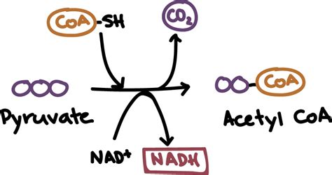 pyruvate oxidation diagram oxidation of which of the following molecules will chegg