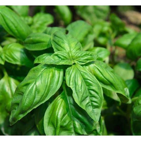 semina basilico in vaso semina basilico aromatiche basilico semina