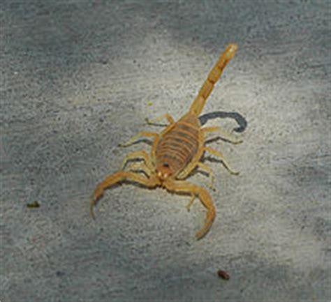 Up Side Scorpion Moge Brown arizona bark scorpion