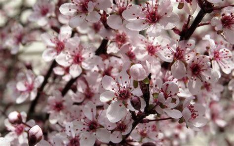 sfondi desktop fiori di primavera scarica sfondi fiori di ciliegio in primavera ciliegio