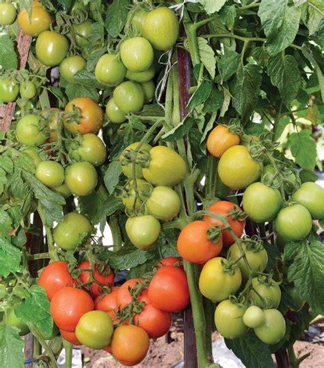 Benih Kacang Panjang Kanton Tavi lmga agro jual produk pertanian harga murah dan