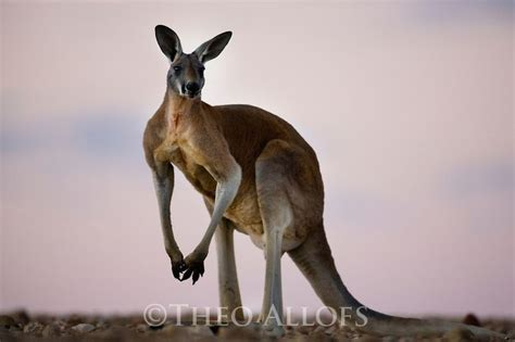google images kangaroo 149 best images about roo on pinterest muscle search