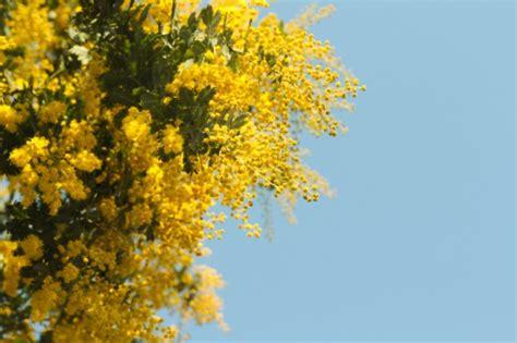 pianta mimosa in vaso come curare la mimosa in vaso come fare tutto