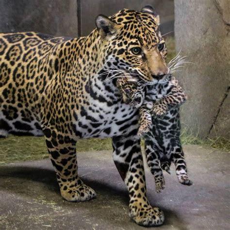 Jaguar Of San Diego Lazy Days At San Diego Zoo List Publications