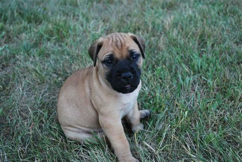 bullmastiff puppies michigan bullmastiff picture