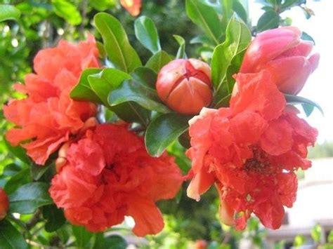 fiori melograno melograno da fiore piante da giardino melograno fiore