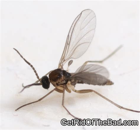 how to get rid of gnats in my house how to get rid of gnats in my bathroom sink thedancingparent com
