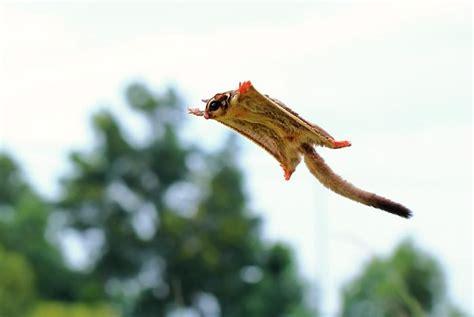 scoiattoli volanti l infinita dolcezza dei petauri dello zucchero i