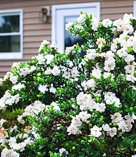 Garten Blumen 1093 by Duft Gardenia Crown Bl 252 Hende Str 228 Ucher Bei