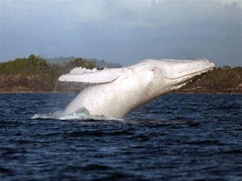 imagenes de ballenas blancas unique migaloo whale spotted in cook strait new zealand