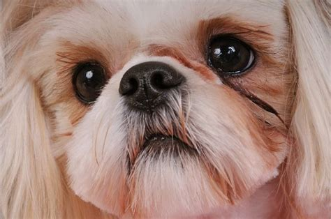 shih tzu eye boogers 1000 images about shih tzu on barking health and fish