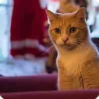 staten island adoption staten island ny domestic shorthair meet simon a cat for adoption