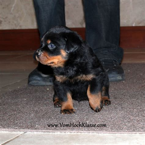german rottweiler puppies for sale in colorado german rottweiler breeder with rottweiler puppies for sale