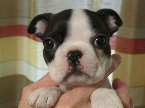boston terrier puppies colorado all white boston terrier puppies www imgkid the image kid has it