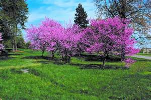 Redbud Tree Redbud Tree Redbud Trees Pinterest Trees Beautiful