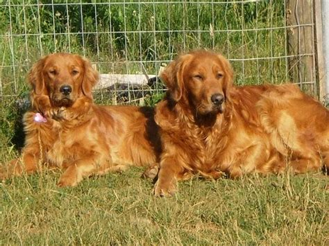washington golden retriever breeders akc golden retriever puppies for sale adoption from hoquiam washington king adpost