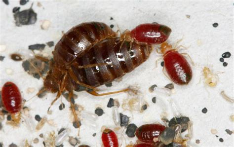 bed bug reproduction rate bed bug reproduction 28 images bed bugs 1st defence pest ltd image gallery nymph