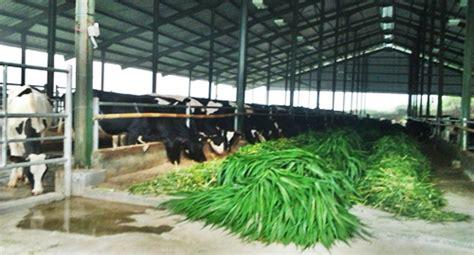 Jual Bibit Sapi Perah Unggul rearing unit manggala cilongok hasilkan bibit unggul sapi