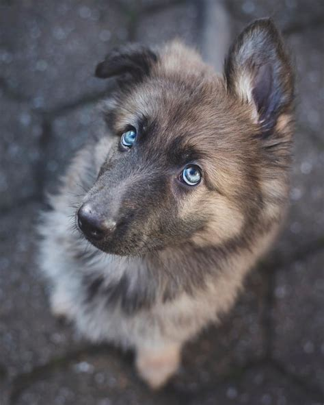 how are dogs puppies the 25 best puppies ideas on puppies adorable puppies and dogs