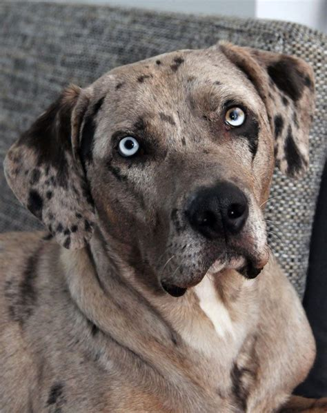 louisiana catahoula leopard louisiana catahoula leopard