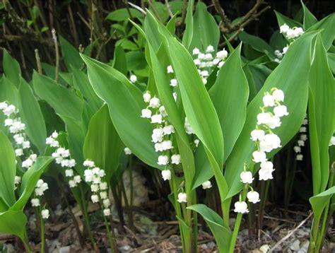 fiori di mughetto mughetti piante perenni pianta mughetto