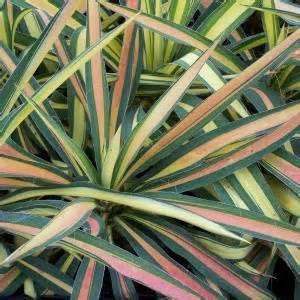 color guard yucca yucca color guard winter color hardy plants for
