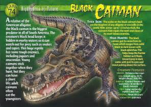 image black caiman front jpg wierd n wild creatures
