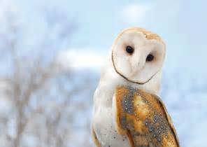 barn owl this is all you need to about barn owls