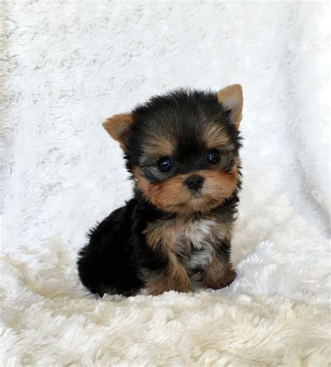 teacup yorkie pup micro teacup terrier puppy california breeder iheartteacups