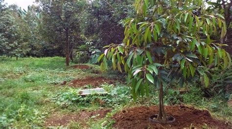 menanam durian montong  enak  gampang