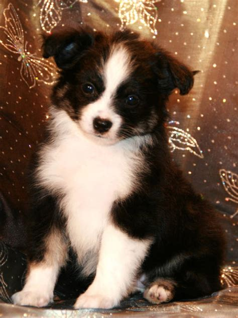 australian shepherd puppies colorado teacup australian shepherd puppies for sale colorado breeds picture