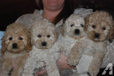 cockapoo puppies for sale in nc nc cockapoos tubezzz photos