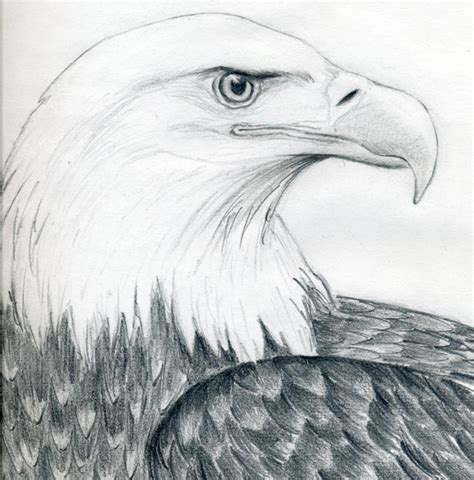 Images Of Eagle Drawings draw a bald eagle